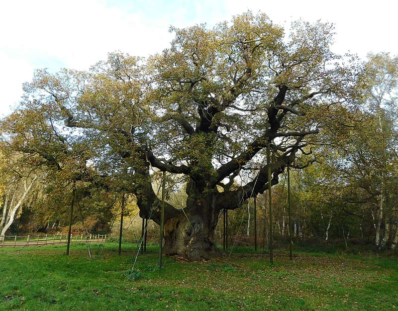 La Major Oak nella foresta di Sherwood