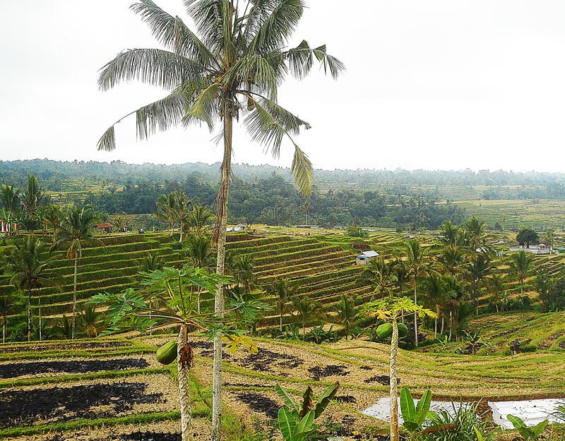 Le risaie di Jatiluwih