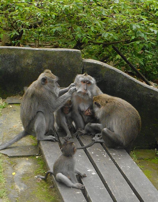 Scimmie a Ubud