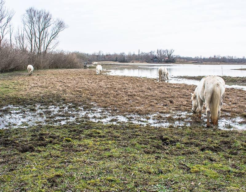 I cavalli Camargue di Isola della Cona