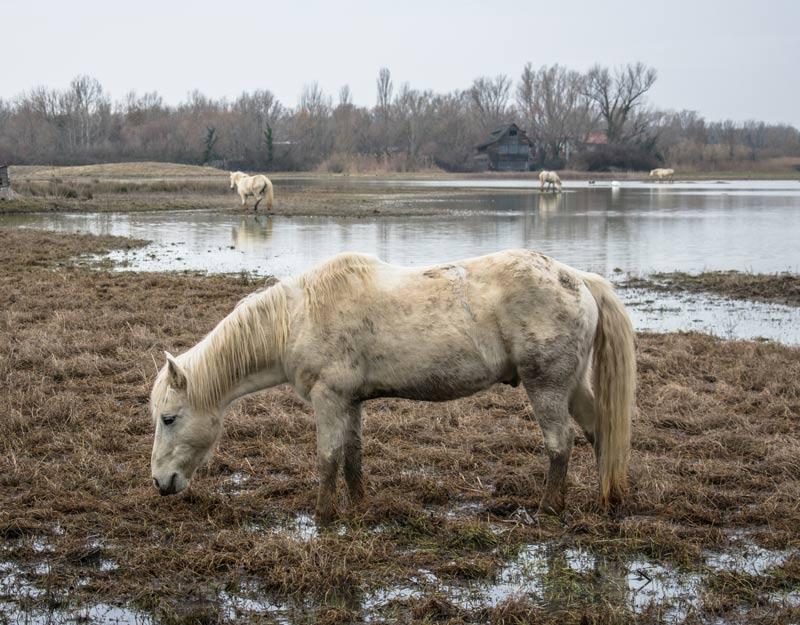 Cavalli nella Riserva Naturale Foce dell'Isonzo