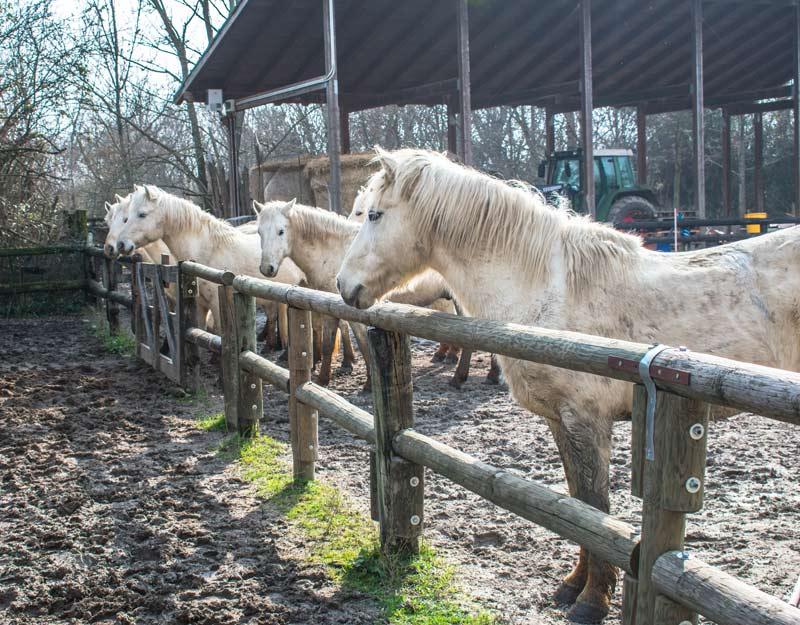 Cavalli pronti a mangiare a Isola della Cona