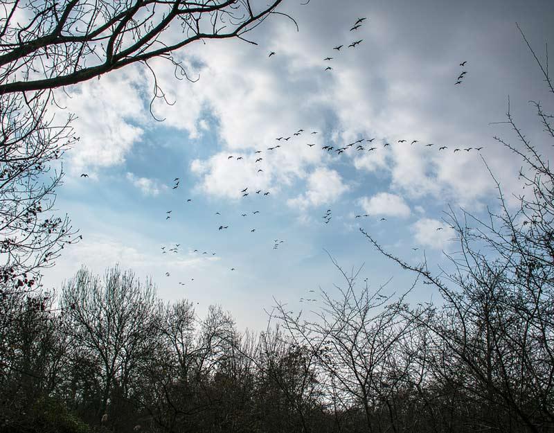 Stormi di uccelli a Isola della Cona