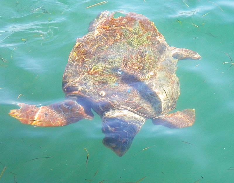 Una tartaruga caretta caretta a Cefalonia