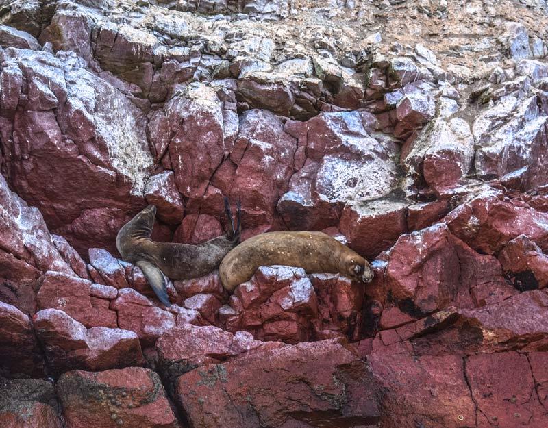 Cosa vedere alle Islas Ballestas: i leoni marini