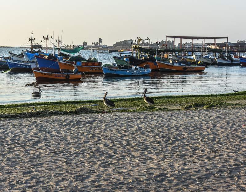 Pellicani a Paracas