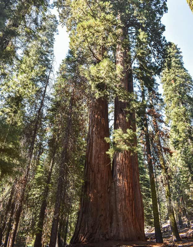 Sequoia doppia negli Stati Uniti