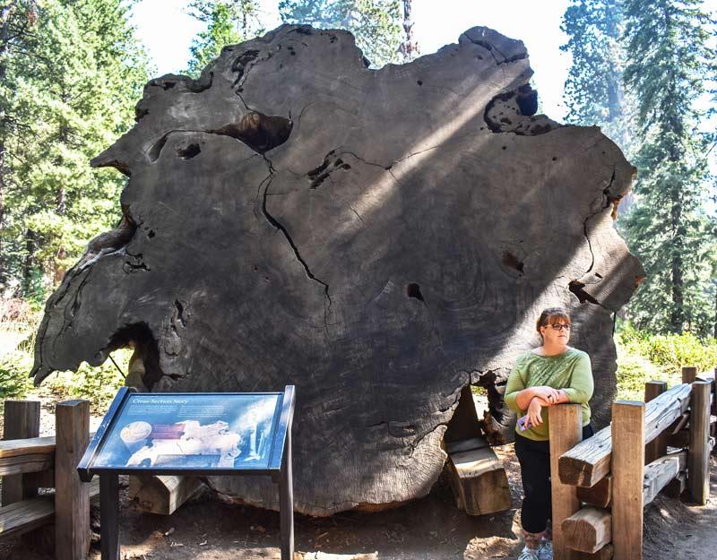 La sezione di una sequoia gigante in California