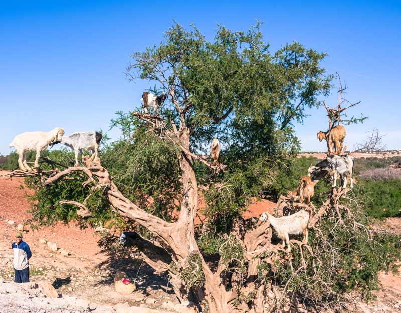 Essaouira in giornata: le capre sugli alberi