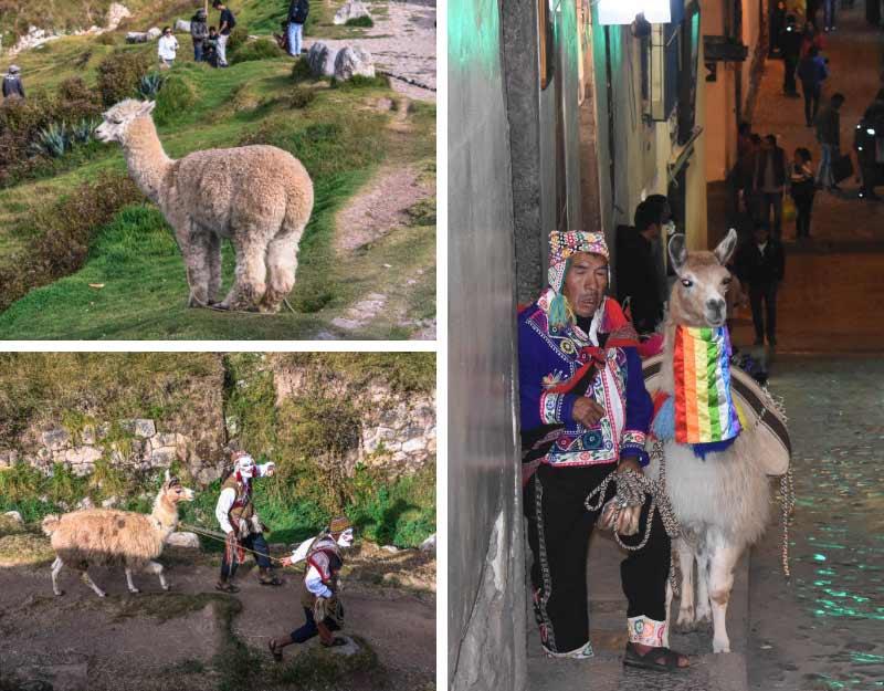 Cosa vedere a Cuzco: alpaca e lama