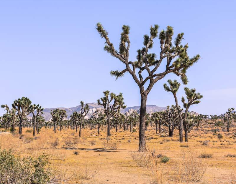 Joshua Tree, l'albero di Giosuè