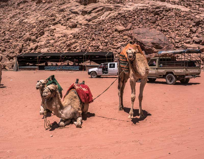 Dromedari al Wadi Rum